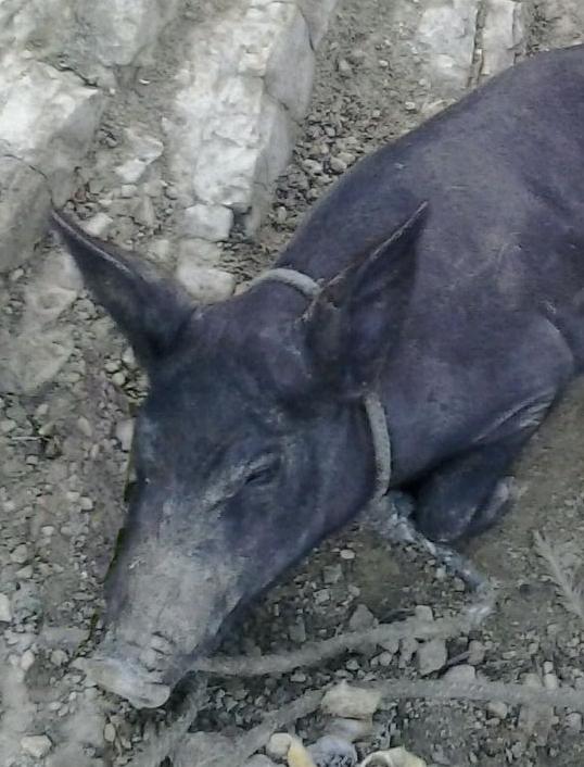 Creole pig on step